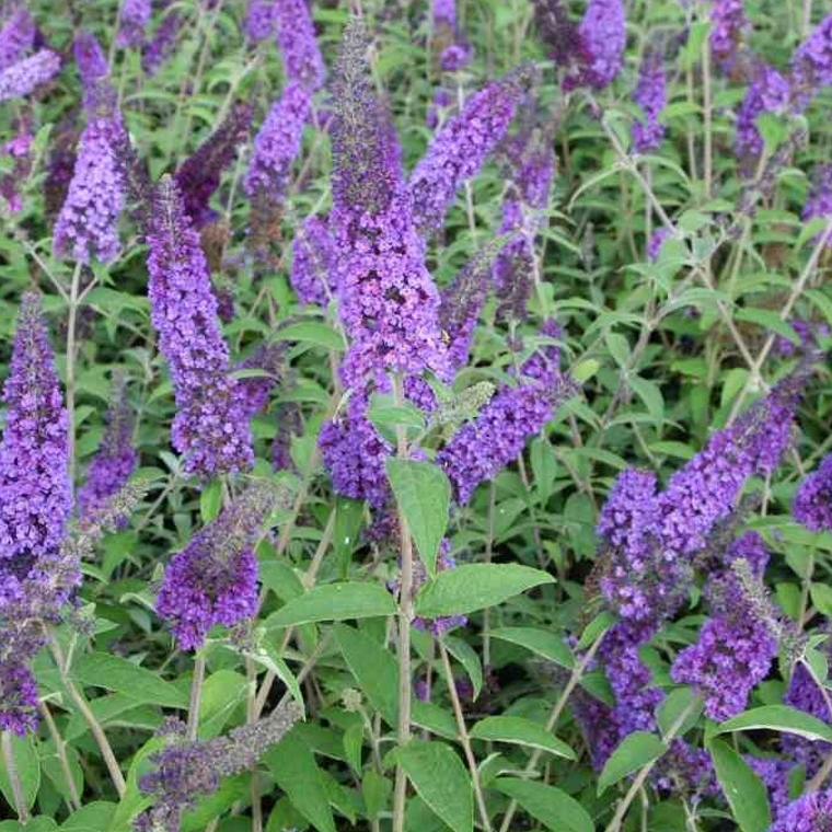 Schmetterlingsstrauch-Hecke pflegen