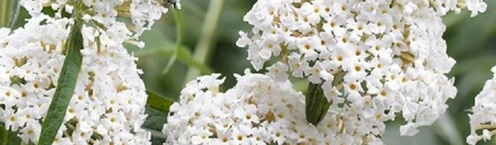 Schmetterlingsstrauch-Hecke richtig pflegen