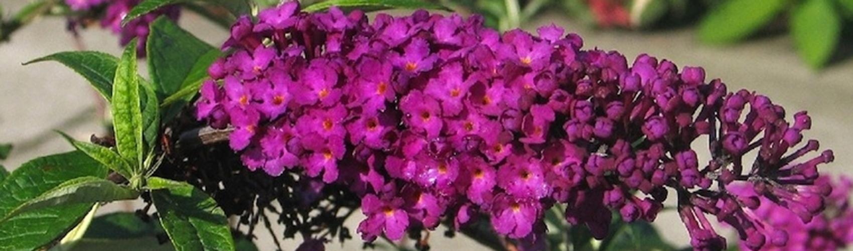 Schmetterlingsstrauch-Hecke schneiden und pflegen
