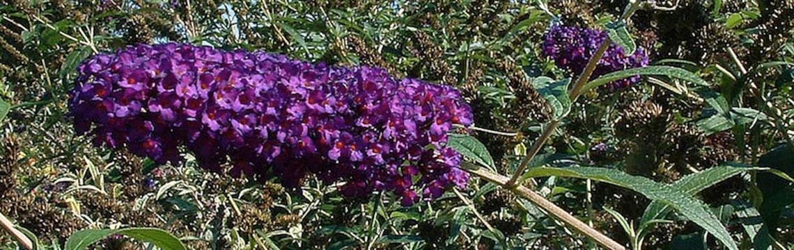 Schmetterlingsstrauch-Hecken: Variationen