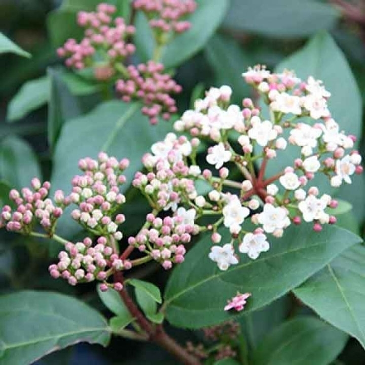 Viburnum als Heckenpflanze