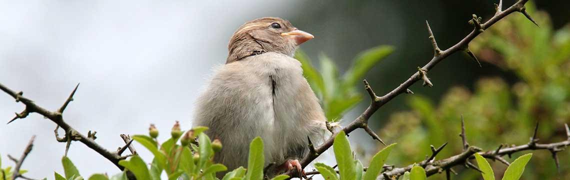 Vogelfreundliche Hecke kaufen