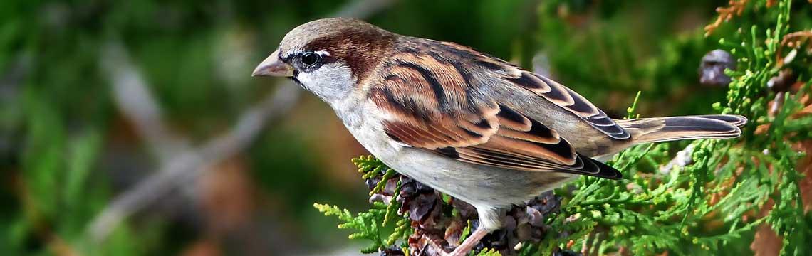 Vogelfreundliche Hecke pflanzen